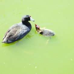 Coot with baby