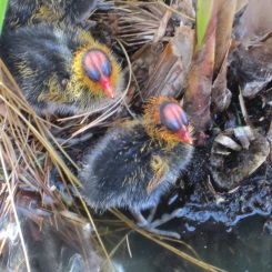 Baby coots