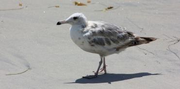 Seagull Juvenile
