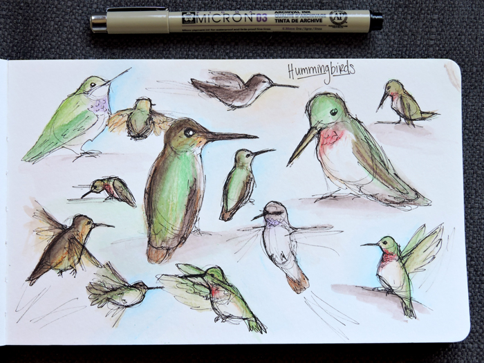Hummingbird Sketches