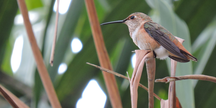 Juvenile Rufous/Allen's Hummingbird