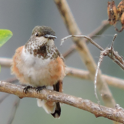 Male Allen's Hummingbird Juvenile