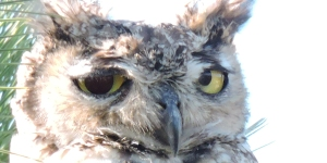 Owl with Eye Issue