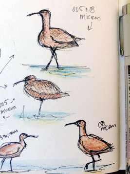 Whimbrel Test Sketches