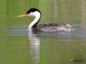 Western Grebe. Note the red eye.