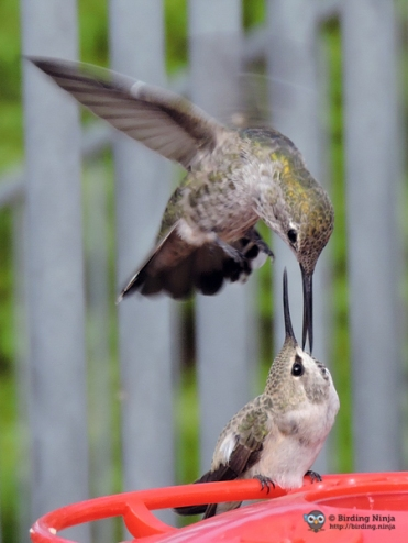 Hummingbird Attack!
