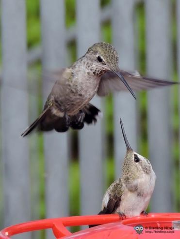 Hummingbird Attack!