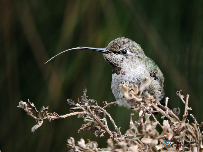 Anna's Hummingbird sticking out its tongue