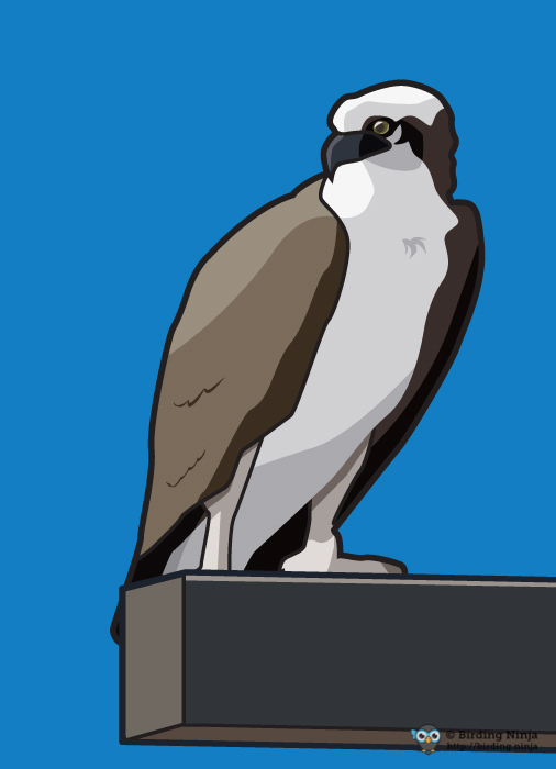 Vector Osprey Illustration
