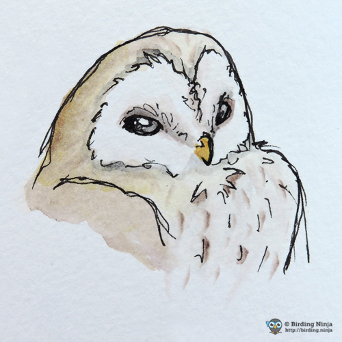 Barn owl sketch