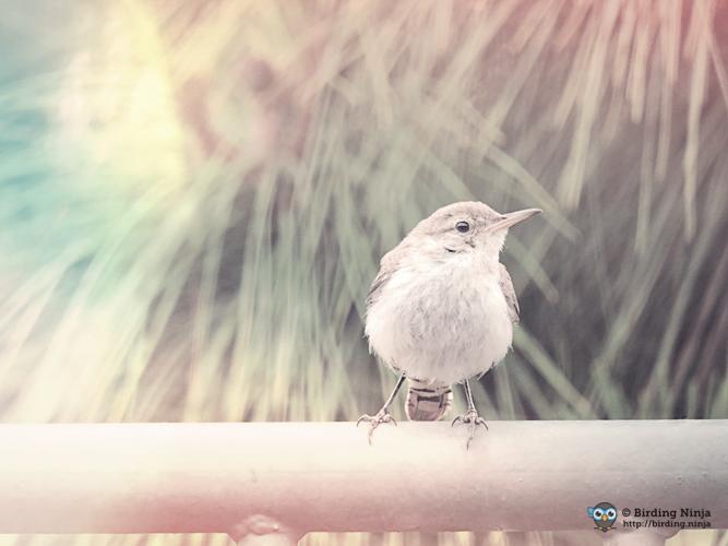 Rock Wren | Birding Ninja