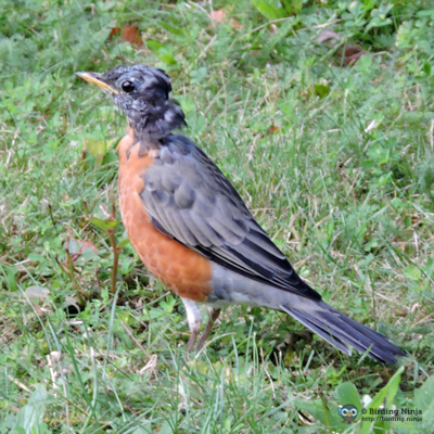 American Robin?