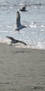 Probably Herring Gulls