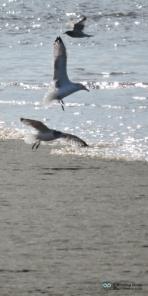 Probably Herring Gulls