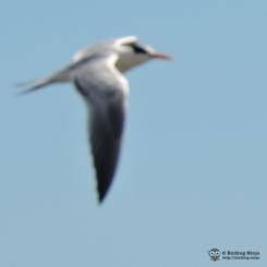 White forehead, yellow beak, gray wings