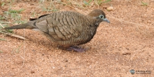 Darker Zebra Dove