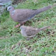 Spotted Dove (large) vs Zebra Dove (smaller)