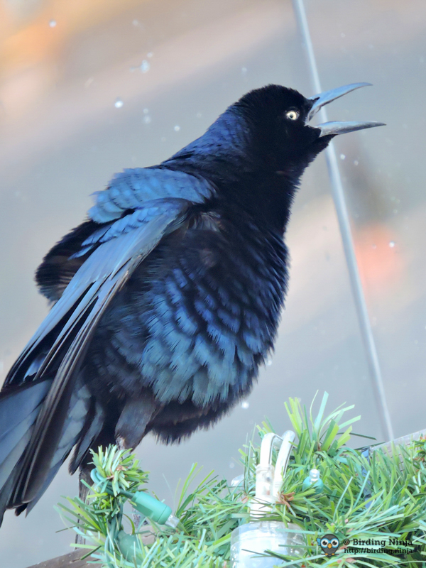 Christmas Grackle