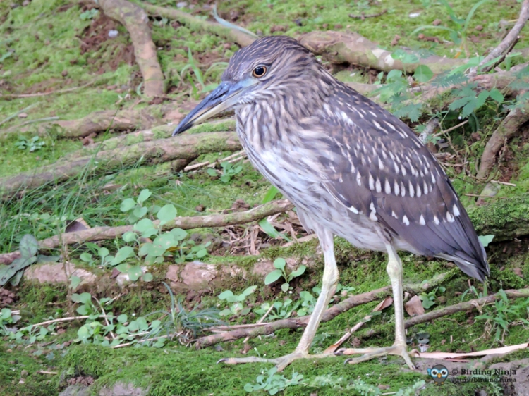 Black-crowned Night Heron Juvenille