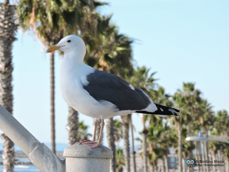 Seagull on Oceanside Pier