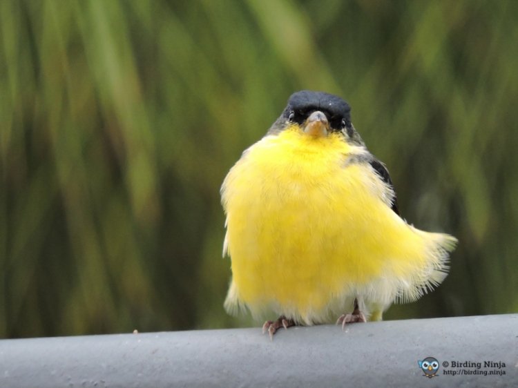Lesser Goldfinch in the wind