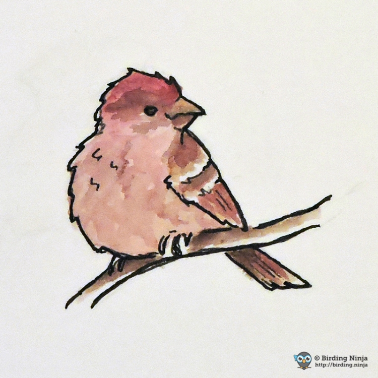 House Finch Sketch