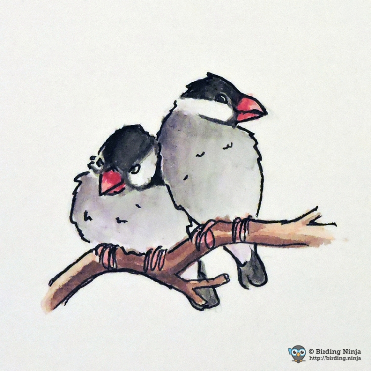 Java Sparrow Watercolor Sketch