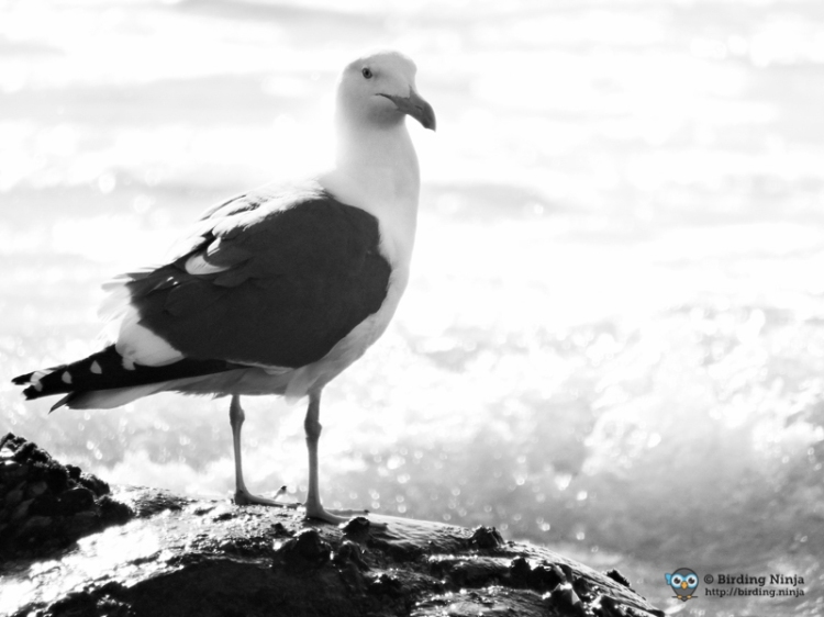 Black and White Seagull