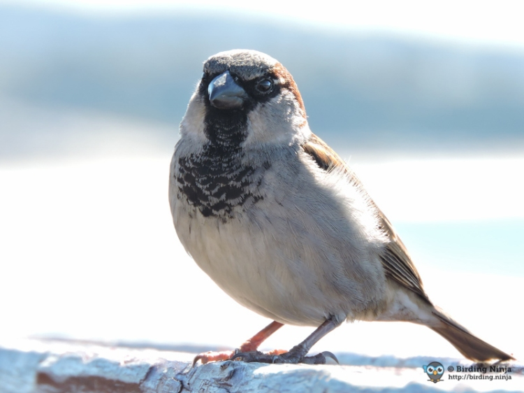 House Sparrow at the beach