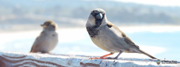 House Sparrows at the beach