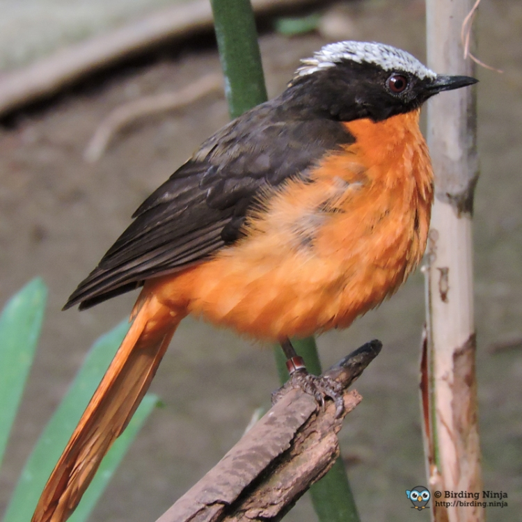 White Crowned Robin