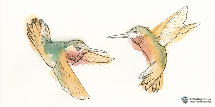 Allens Rufous Hummingbirds Watercolor