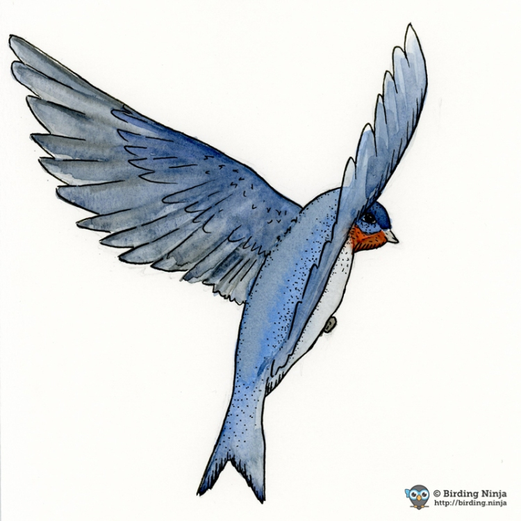 Barn Swallow Watercolor