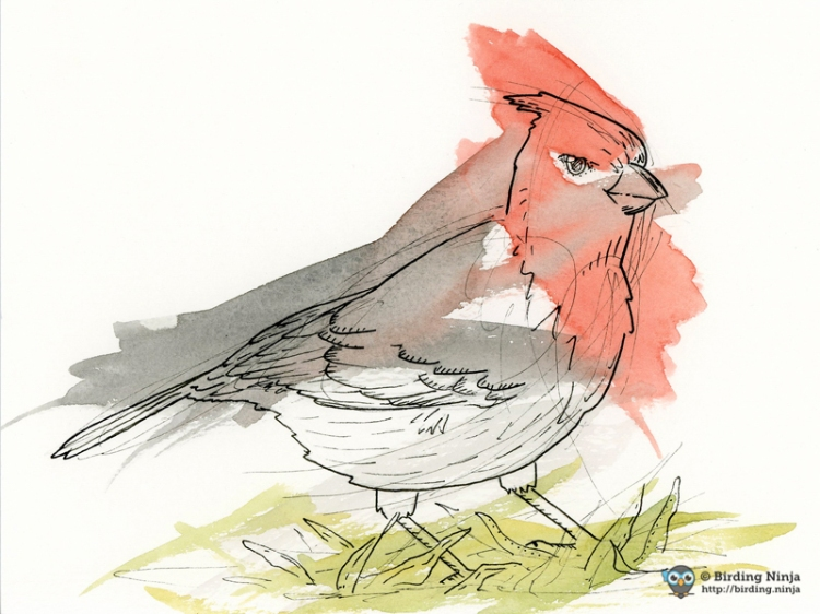 Red-crested cardinal watercolor