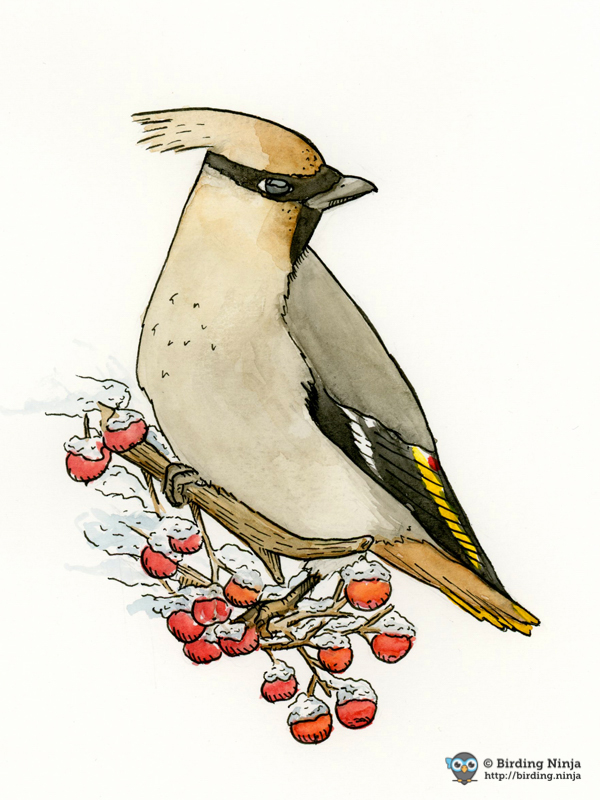 Cedar Waxwing Watercolor