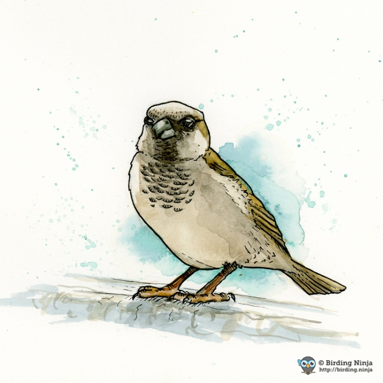 House Sparrow Watercolor