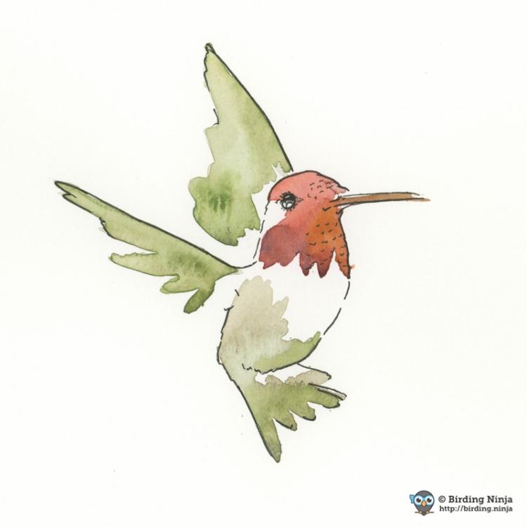 Anna's Hummingbird Watercolor #bird #annas