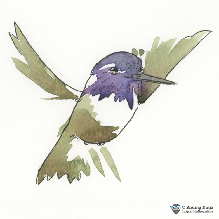 Costa's Hummingbird Watercolor #micron #watercolor #hummer
