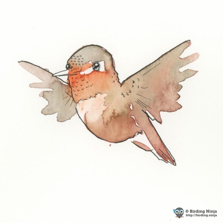 Allen's Hummingbird Watercolor #micron #pen #watercolor #hummer