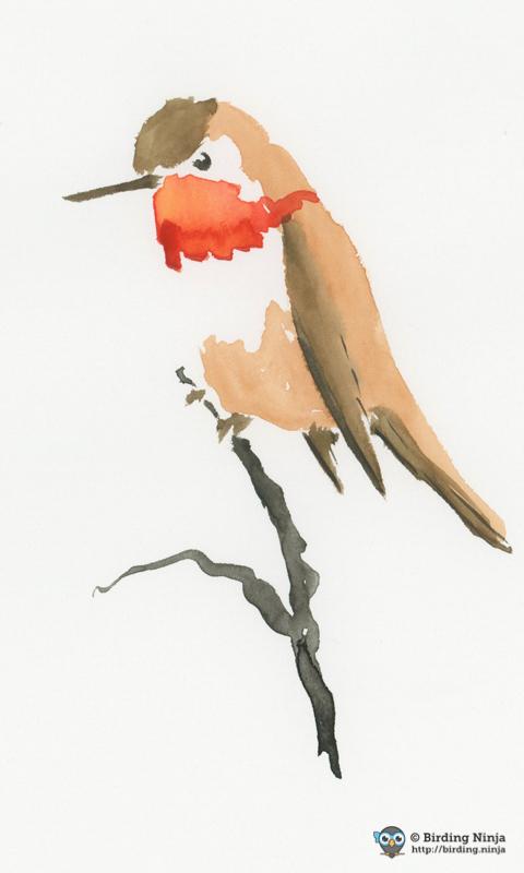 Allen's Hummingbird Watercolor