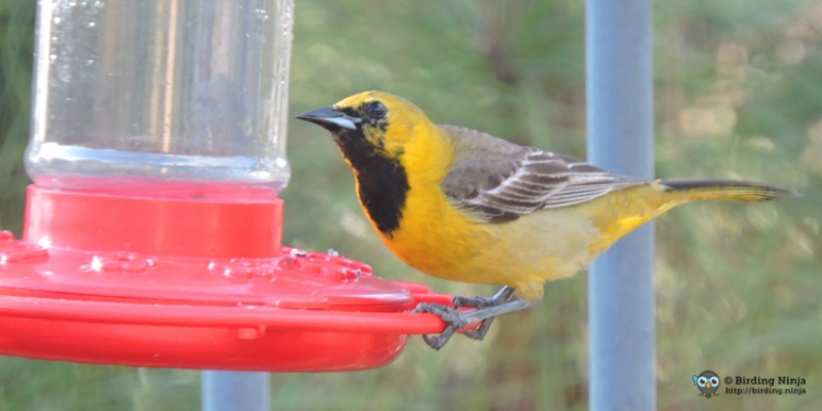 Non-breeding Male Hooded Oriole