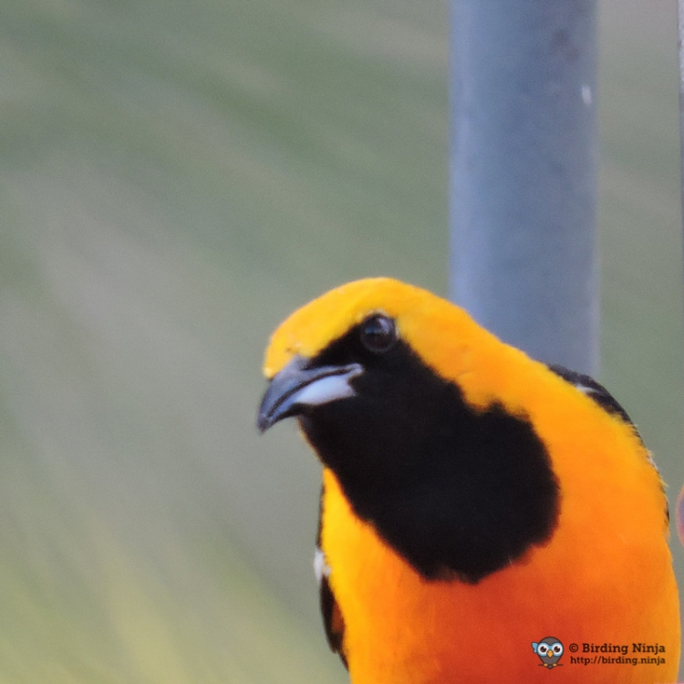Male Breeding Hooded Oriole