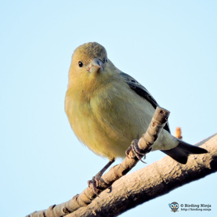 Female Lesser Goldfinch