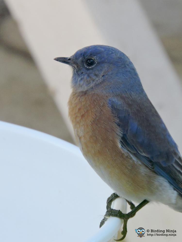 bluebird16