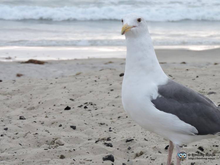 seagull14