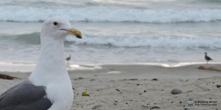 seagull16