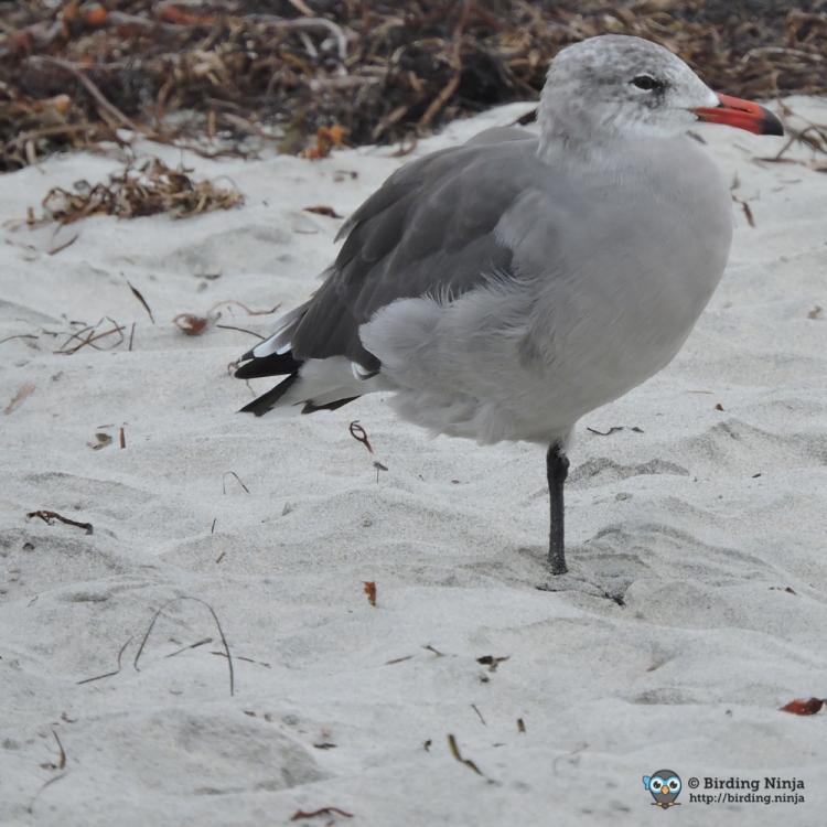 seagull18