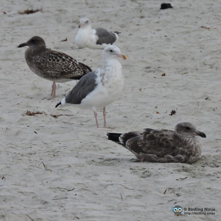 seagull21