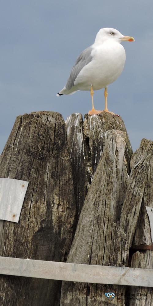 seagull27