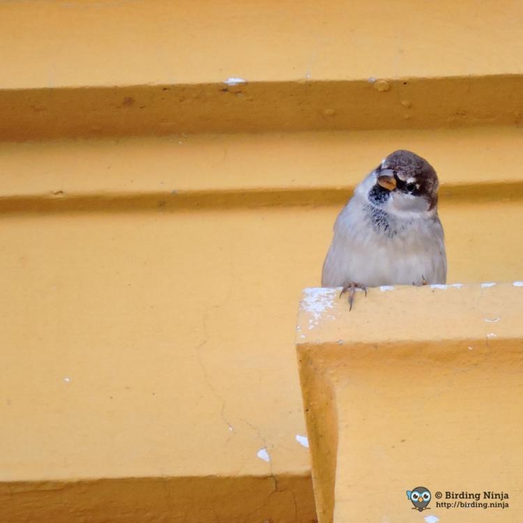 sparrow65